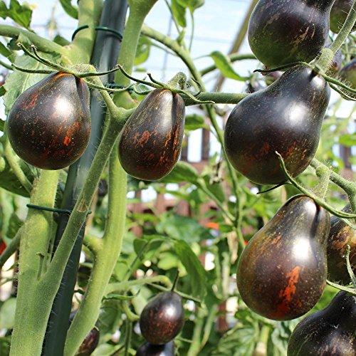 10 Samen Blue Keyes Tomate - sehr dunkle Früchte, birnenförmig