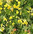 Wildflower - Birdsfoot Trefoil - 2000 Seeds