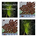Washingtonia filifera 10 x Palmensamen Washington Palme frosthart