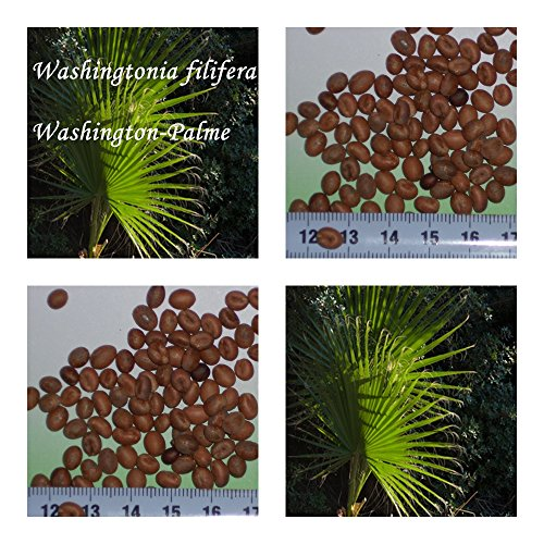Washingtonia filifera 20 x Palmensamen Washington Palme frosthart