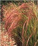Just Seed - Ornamental Grass - Stipa...