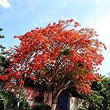 Keptei Samenhaus- Caesalpinia pulcherrima Samen Delonix Regia Baum Poinciana Seed Pfauenstrauch Rote Blühende Rarität Pflanzenbaum mehrjährig Stolz von Barbados (20 Korn)