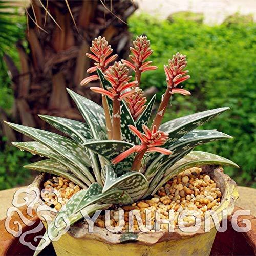 Plentree Pacchetto semi: 100 pc, Rare Aloe variegata Bonsai, Off Fiori desktop, Piante grasse, Anti-computer, in vaso s purificare l'aria
