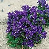 Dominik Blumen und Pflanzen winterharte Staude Knäuelglockenblume