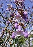TROPICA - Paulownia Árbol Campanas (Paulownia tomentosa) - 200 Semillas