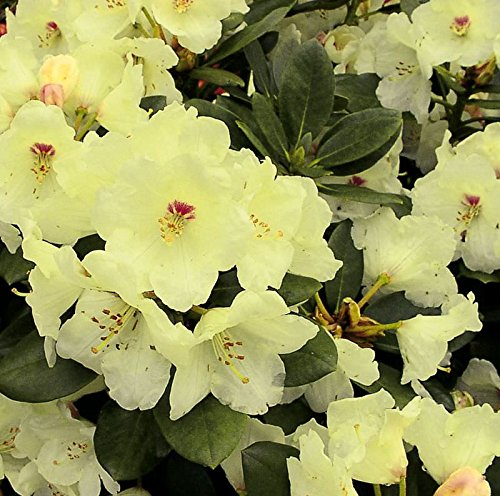 Rhododendron Flava 20-25cm - Alpenrose