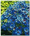 Blaues Gänseblümchen 50 samen, Zwerg Margerite, Brachycome - strahlend blauvioletten Blüten (Brachycome Blue)