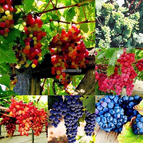Portal Cool Typ 5: Mehrjährige Bonsai-Trauben-Samen Sukkulenten Fruchtpflanzen-Samen Er99