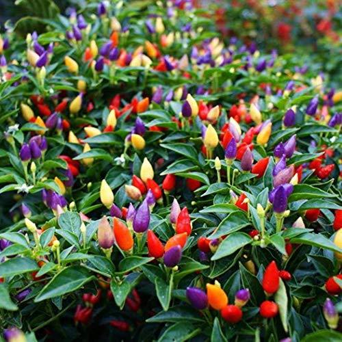 MeiGuiSha Garten - 50 Stück Zierpaprika Samen Chili Paprikasamen Saatgut Gemüse Frucht Samen mehrjährig winterhart ertragreich für Garten Balkon/Terrasse (Mischung)