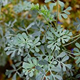 Kräutersamen - Weinraute - Ruta graveolens - Rutaceae 100 Samen