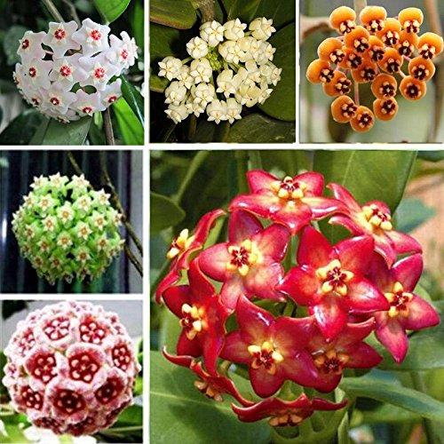 ncient 100 semi sementi di hoya colore misto orchidea di palla semi fiori rari profumati piante per orto giardino balcone interni ed esterni