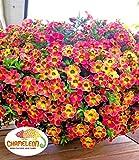 Kisshes Seedhouse - 50/100pcs Rare Pétunia en mélange fleurs grainé jardin plantes vivaces Plantes Pour jardinières, plates-bandes et suspension...