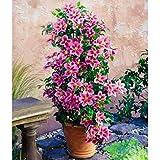 Coorun 50pcs mischte Farben Clematis Samen, Clematis Reben Bonsai Blumensamen mehrjährigen Blumen, Klematis Pflanzen für Hausgarten Kletterpflanze Pflanze