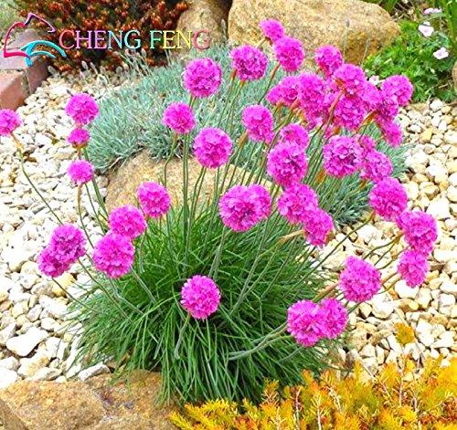 100 Pcs Seagrass Seeds A Graines Lot Wctch Rose Bonsai fleurs rares bulbes Fleurs SEMENTES Pour jardin Belles Plantes Jardin