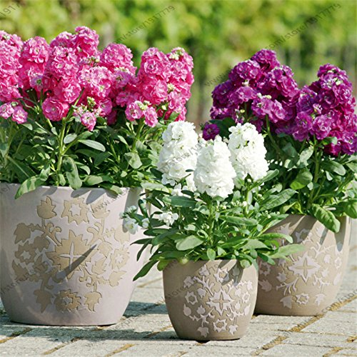 brand-new-matthiola-100-seeds-matthiola-incana-ten-week-mix-color-perfume-night-scented-plants-bonsa
