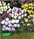 BALDUR-Garten Wildkrokusse, Botanische Krokusse Prachtmischung, 100 Zwiebeln, Crocus chrysanthus Mix