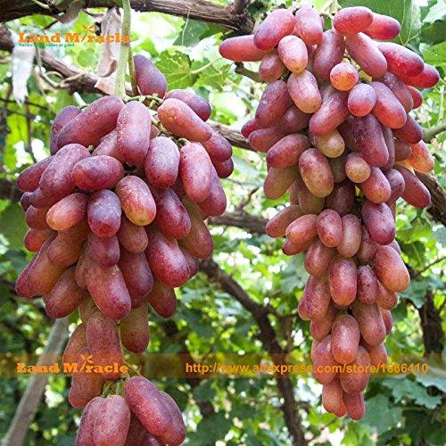Manucure japonaise Finger pépins de raisin Fruit, 20 graines/Pack (Grain Poids Environ 6-8g) extra-large, extra-terrestres savoureux Miracle