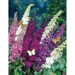 Dominik Blumen und Pflanzen, Sommerflieder-Sortiment. 4 Pflanzen in verschiedenen Farben blühend