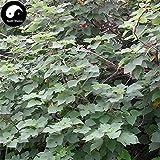 Acquista carta di gelso albero semi 120pcs piante Broussonetia Papyrifera Per Gou Shu