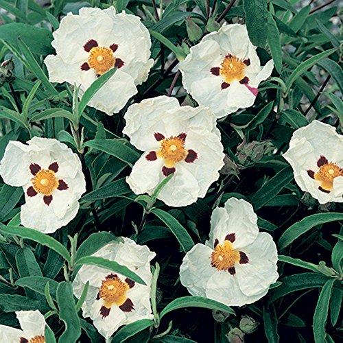 1 pianta cistus p.alan fradd vaso 17cm sempreverdi e rampicanti