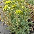 lichtnelke - Fetthenne (Sedum reflexus ' Blue Spruce ') von Lichtnelke Pflanzenversand auf Du und dein Garten