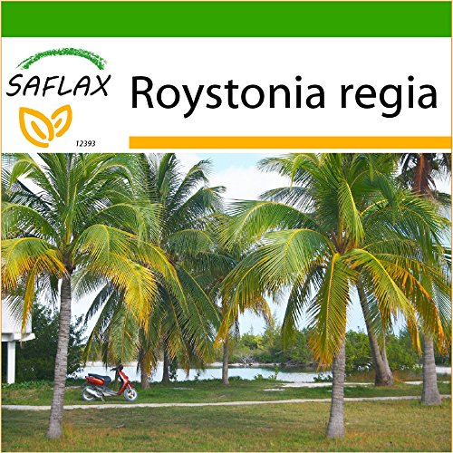 SAFLAX - Cubanische Königspalme - 8 Samen - Mit Substrat - Roystonia regia