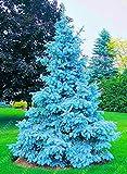 100 semi arboree rare Evergreen Colorado semi abete rosso blu PICEA PUNGENS GLAUCA bene alla coltivazione in vaso, fioriere vaso di fiori