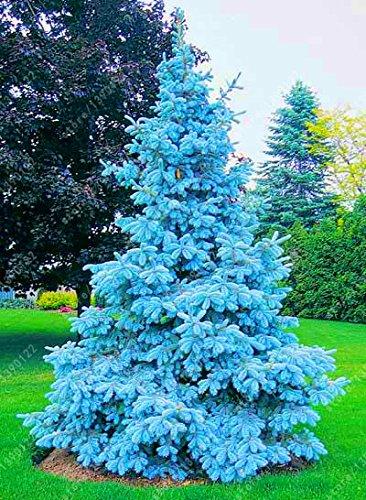 100 Baumsamen selten Evergreen Colorado blau Fichtensamen PICEA PUNGENS GLAUCA gut in Töpfen, Blumentopf Pflanzer wachsen