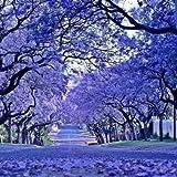 #4: Flowering Shade Tree Road Side Flowering Tree - Blue Colour - 20 Seeds by Creative Farmer