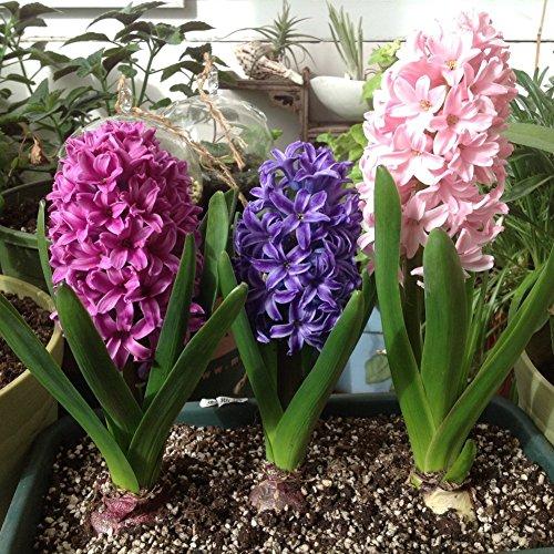 KAYI Hyacinth Semences Mélangé Hydroponique Plantes Balcon en pot Usine Bureau Affichage