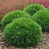 Kugelkiefer - Pinus mugo Varella - 30-35cm im 3 Ltr. Topf