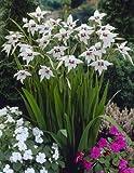 Sterngladiolen (Acidanthera) 6/8, 3x12 Zwiebel - zu dem Artikel bekommen Sie gratis ein Paar Handschuhe für die Gartenarbeit dazu