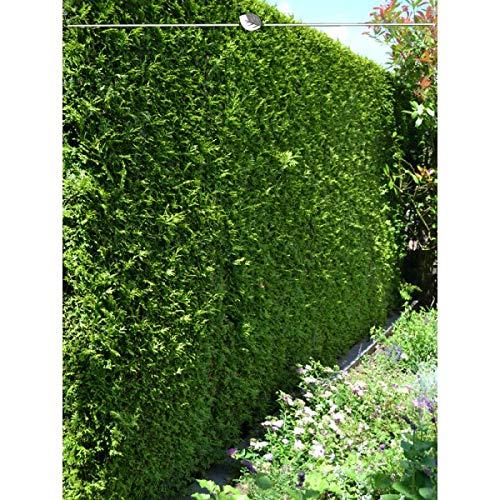 Gardline Lebensbaum Thuja Brabant 180-200 cm, 5X Heckenpflanze