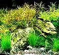 Mühlan Pflanzenhande Nano 8, Wasserpflanzenset für Nanoaquarium 30-40 l von Mühlan Pflanzenhandel auf Du und dein Garten