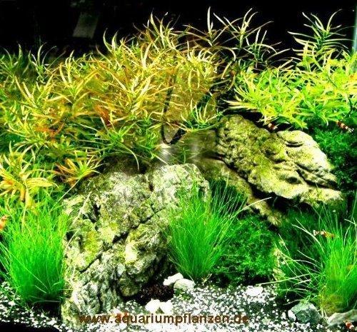 Mühlan Pflanzenhandel Nano 8, Wasserpflanzenset für Nanoaquarium 30-40 l