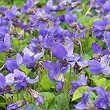 lichtnelke - Duftveilchen ( Viola odorata ) blau