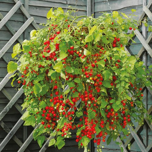 suttons-seeds-180648-tomato-hundreds-and-thousands-seed