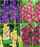 """BALDUR-Garten Riesen-Gladiolen-Kollektion, 40 Zwiebeln Gladiolus Mischung""""Zigeunerbaron"""", Invitation"""",""""Mon Amour"""",""""Schönheit der Nacht"""""""