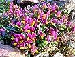 9cm Pot Shrub - Polygala Chamaebuxus Grandiflora (Kamnisky/Creeping Milkwort) Low Growing Garden Plant