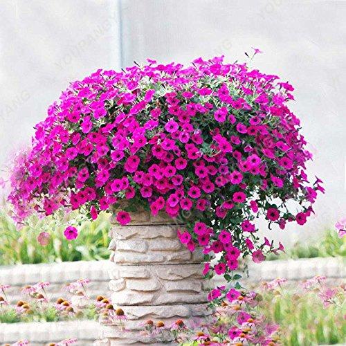 200 pcs / sac Petunia Graines Bonsaï Graines de fleurs Court Taille Jardin Fleurs Graines d'intérieur ou à l'extérieur Livraison gratuite Plante en pot au chocolat