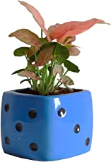 Rolling Nature Good Luck Air Purifying Pink Syngonium Plant in Blue Dice Ceramic Pot