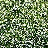 Future Exotics Trachelospermum jasminoides Jasmin Blütenduft winterhart 25-30 cm, 2 Stück