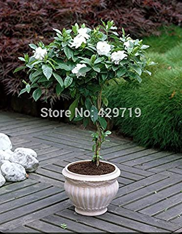 10/BAG Cape Jasmine Seeds,(Gardenia jasminoides) fragrant Exotic Shrub - open pollinate rare beautiful bonsai flower seeds