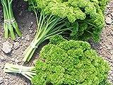Portal Cool Ein 2G (ca. 1500) Petersilie Samen Moss Gewelltes Gut für das Einfrieren und Trocknen