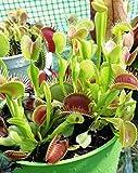 30 Graines Attrappe-mouches de Vénus - Dionaea muscipula / Dionée - plantes carnivores