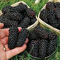 100 Unids Nutritivo Gigante Sin Espinas Blackberry Semillas de Mora de Frambuesa Negro Fibra Antioxidante Planta de Frutas Plantas de Jardín