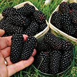 Rosepoem Blackberry Seeds Süße schwarze Berry Riesige Brombeeren Triple Crown Blackberry Black Maulbeere Samen Fruit Seeds