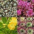 lichtnelke -12 Stk. Stauden Sempervivum - Mix von Lichtnelke Pflanzenversand - Du und dein Garten