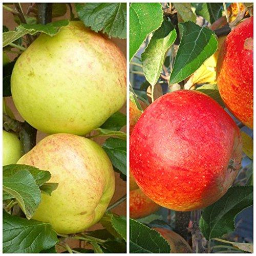 2er Set Apfelbaum, Spindel Buschbaum verschiedenen Sorten selbst zusammenstellbar schwachwachsend M9