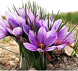 Gautam Global Fresh Bulbs - Saffron Flower , Crocus Sativus - 10 pcs